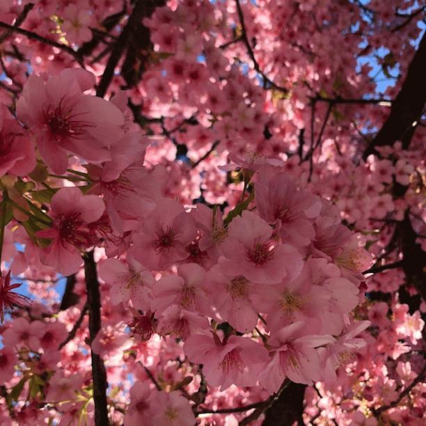 河津桜1.jpegのサムネイル画像