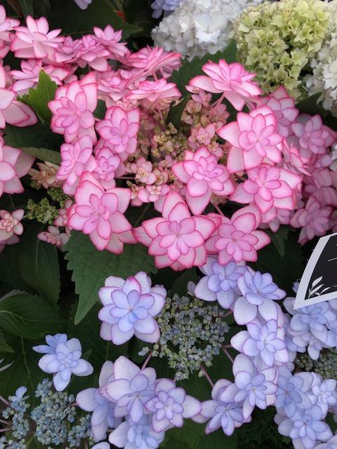 紫陽花ああ.pngのサムネイル画像のサムネイル画像