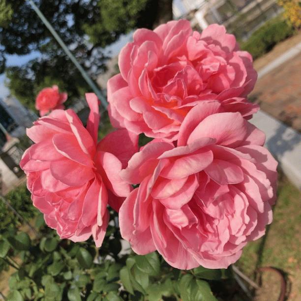 薔薇おお.png